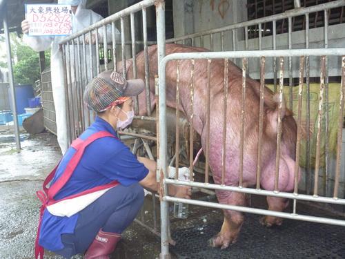 台灣區種豬產業協會10405期D0528-12採精相片