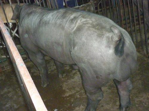 台灣區種豬產業協會10405期F0310-09側面相片