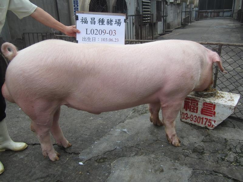 台灣區種豬產業協會10405期L0209-03側面相片