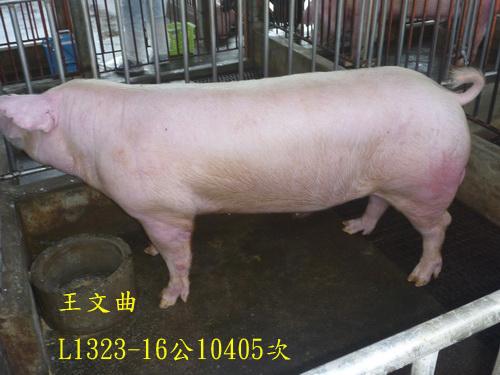 台灣區種豬產業協會10405期L1323-16側面相片