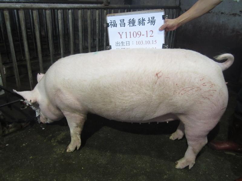 台灣區種豬產業協會10405期Y1109-12側面相片