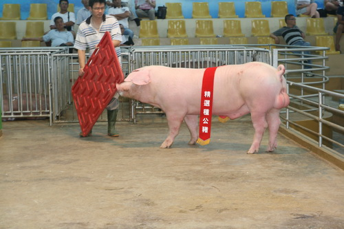 台灣區種豬產業協會10405期L0209-03拍賣相片(高價豬)