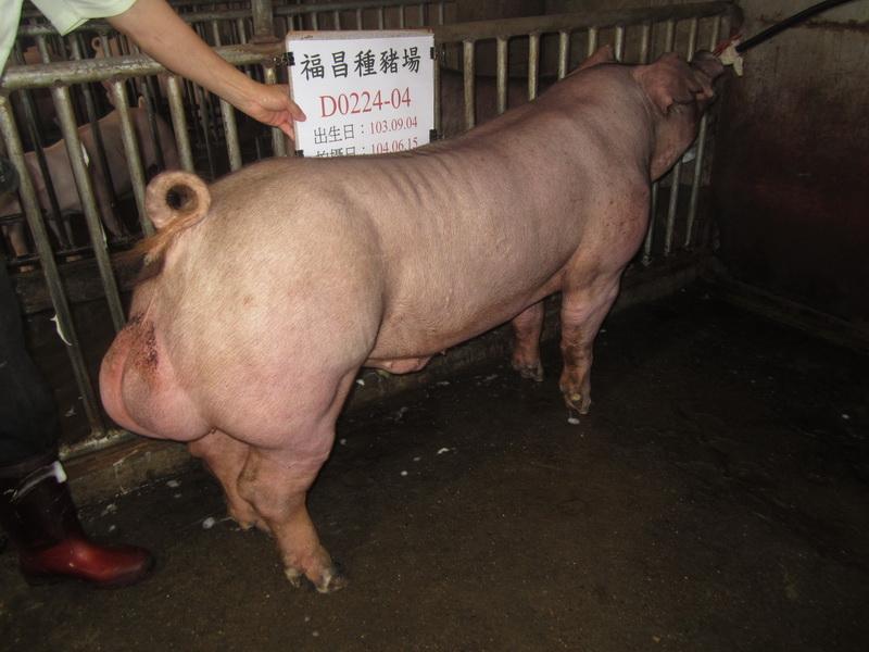 台灣區種豬產業協會場內檢定104T1次D0224-04側面相片