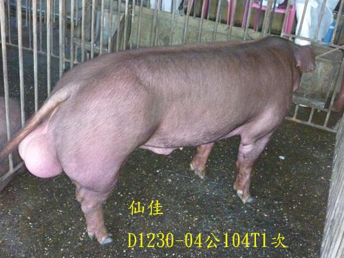 台灣區種豬產業協會場內檢定104T1次D1230-04側面相片