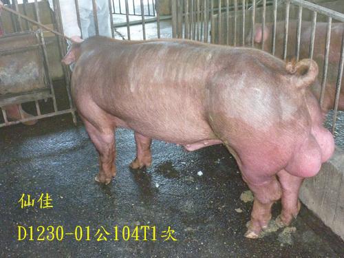 台灣區種豬產業協會場內檢定104T1次D1230-01側面相片