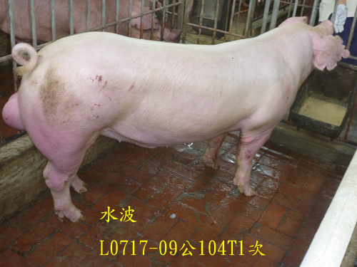 台灣區種豬產業協會場內檢定104T1次L0717-09側面相片
