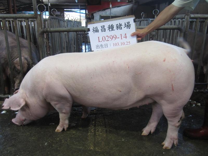 台灣區種豬產業協會場內檢定104T1次L0299-14側面相片