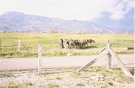 水牛保種環境 -大牧草區放牧(1)(畜產種原庫及基因交流p37)