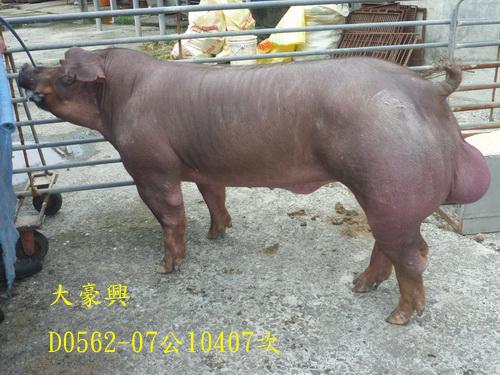 台灣區種豬產業協會10407期D0562-07側面相片