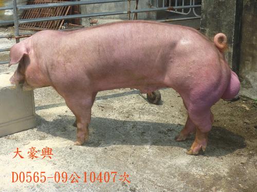 台灣區種豬產業協會10407期D0565-09側面相片