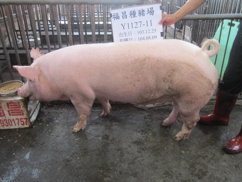 台灣區種豬產業協會10407期Y1127-11側面相片