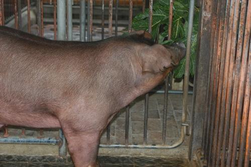 中央畜產會201504期D1336-06體型-頭頸相片