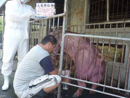 台灣區種豬產業協會10408期D0566-10採精相片