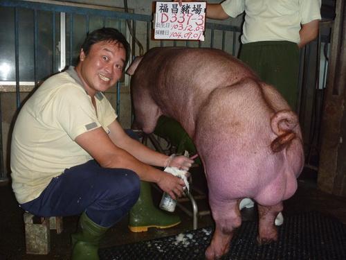 台灣區種豬產業協會10408期D0339-03採精相片