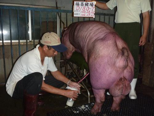 台灣區種豬產業協會10408期D0180-07採精相片