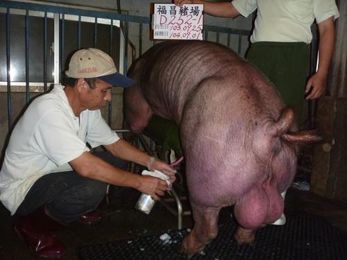 台灣區種豬產業協會10408期D0252-01採精相片