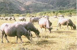 水牛保種環境 -大牧草區放牧 (畜產種原庫及基因交流p37)
