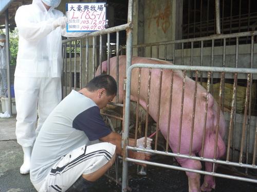 台灣區種豬產業協會10408期L0785-11採精相片