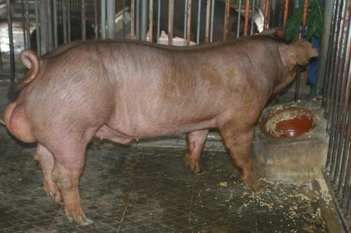 中央畜產會201505期D0515-04體型-全身照片