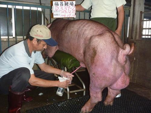 台灣區種豬產業協會場內檢定104T2次D0339-02採精相片