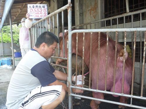 台灣區種豬產業協會10409期D0583-08採精相片