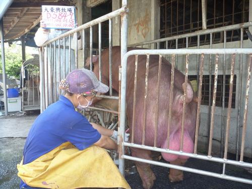 台灣區種豬產業協會10409期D0584-09採精相片