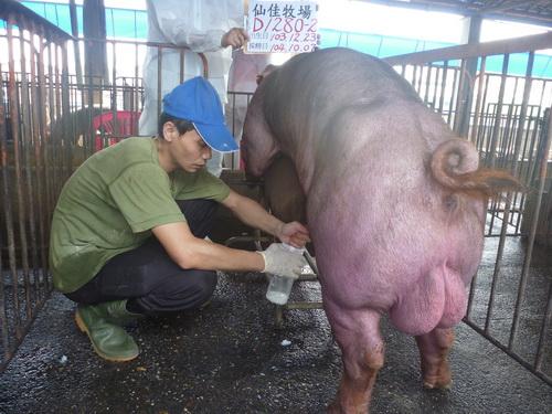 台灣區種豬產業協會10409期D1280-02採精相片