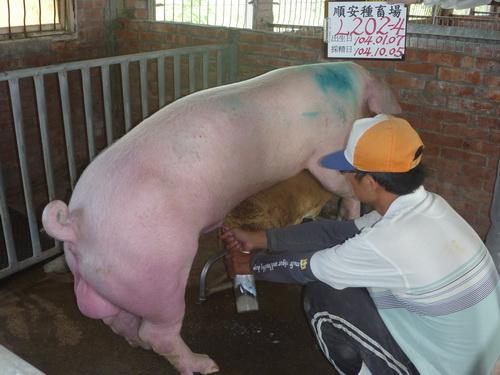 台灣區種豬產業協會10409期D0202-04採精相片