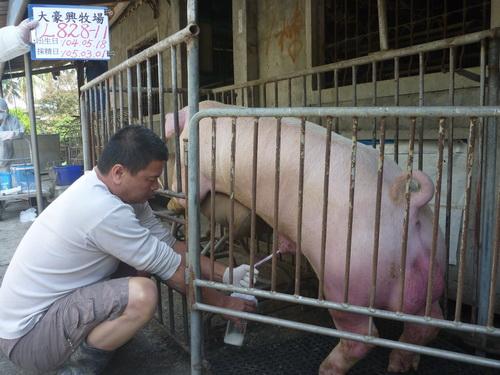 台灣區種豬產業協會10502期L0828-11採精相片