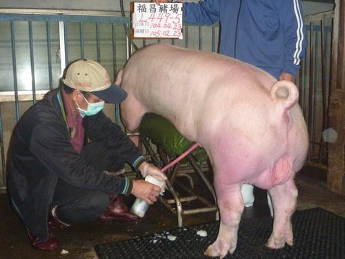 台灣區種豬產業協會10502期L0449-05採精相片