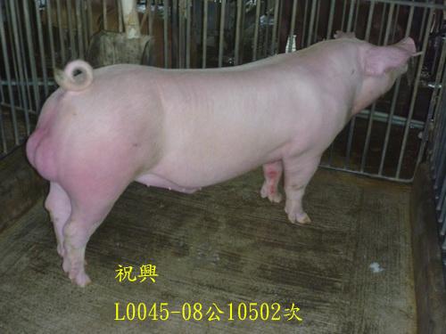 台灣區種豬產業協會10502期L0045-08側面相片