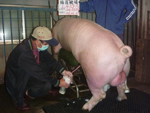 台灣區種豬產業協會10502期L0410-05採精相片