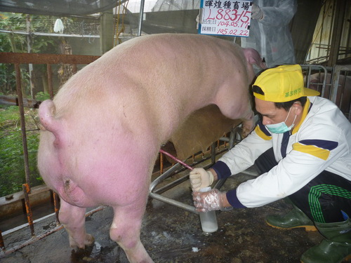 台灣區種豬產業協會10502期L0883-15拍賣影片