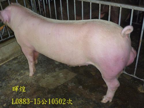 台灣區種豬產業協會10502期L0883-15側面相片