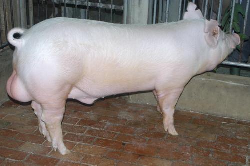 中央畜產會201511期Y1199-04體型-全身照片