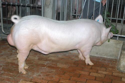 中央畜產會201511期Y1200-01體型-全身照片