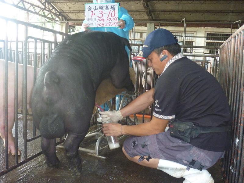 台灣區種豬產業協會10506期F0003-10採精相片