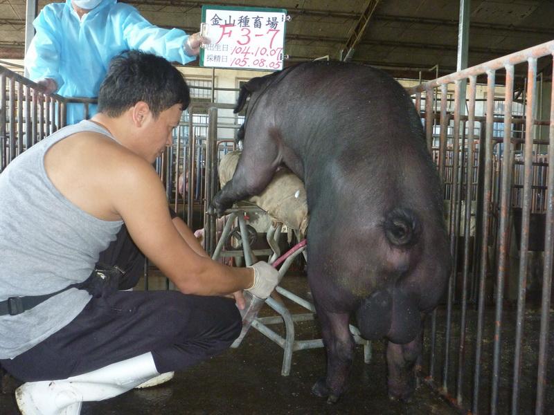 台灣區種豬產業協會10507期F0003-07採精相片