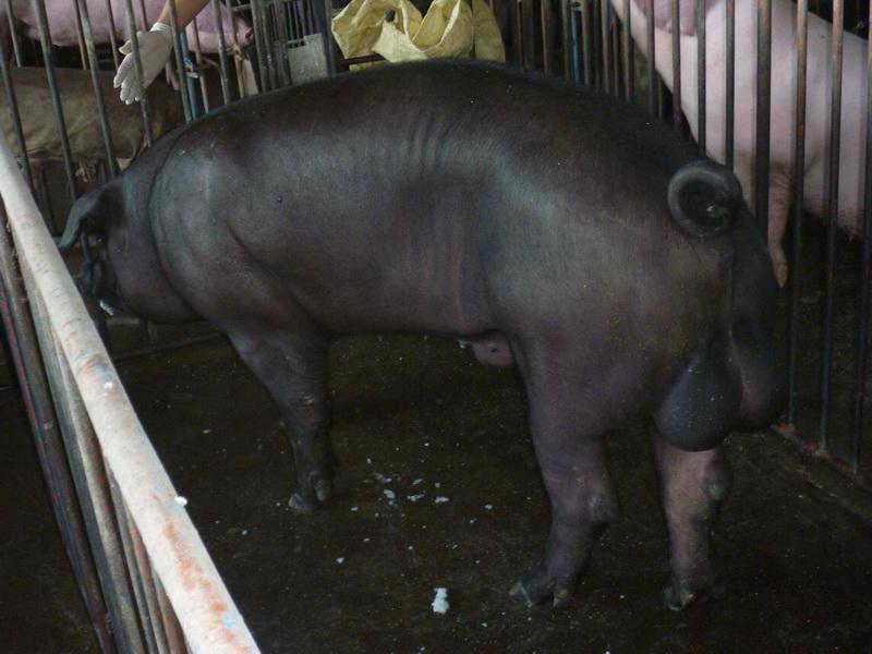 台灣區種豬產業協會10507期F0003-07側面相片