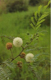 銀合歡Leucaena leucocephala (Lam.) de Wit.
