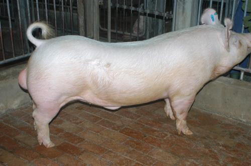 中央畜產會201604期Y0495-01體型-全身照片