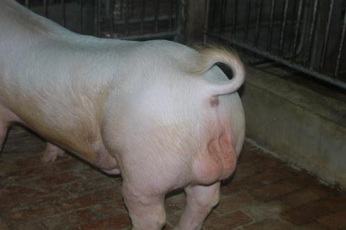 中央畜產會201604期Y0495-01體型-性器外觀相片