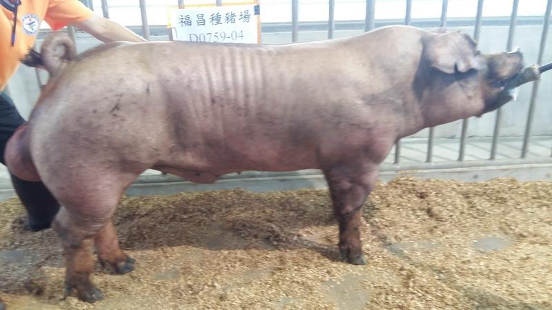 台灣區種豬產業協會10508期D0759-04側面相片