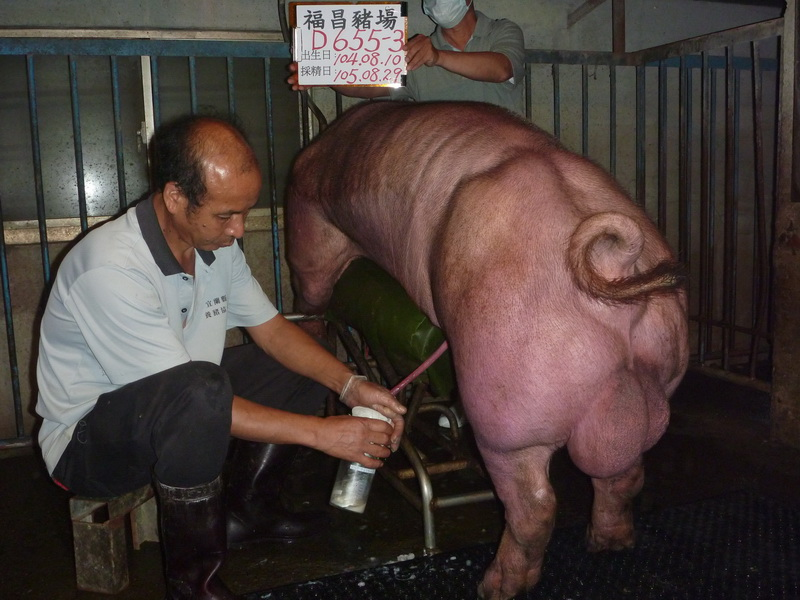 台灣區種豬產業協會10508期D0655-03採精相片