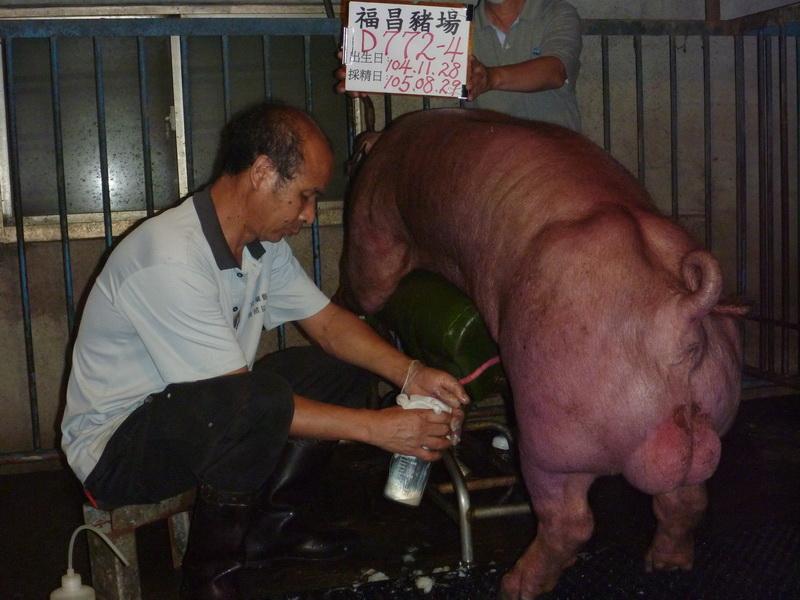 台灣區種豬產業協會10508期D0772-04採精相片