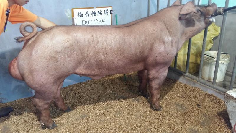 台灣區種豬產業協會10508期D0772-04側面相片