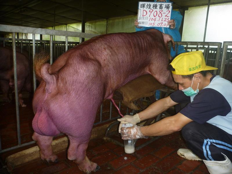 台灣區種豬產業協會10508期D0908-02採精相片