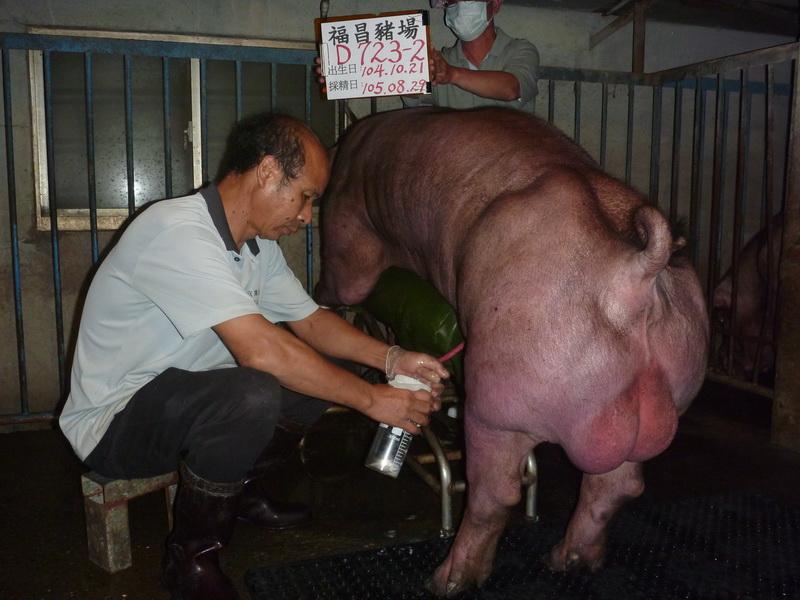 台灣區種豬產業協會10508期D0723-02採精相片