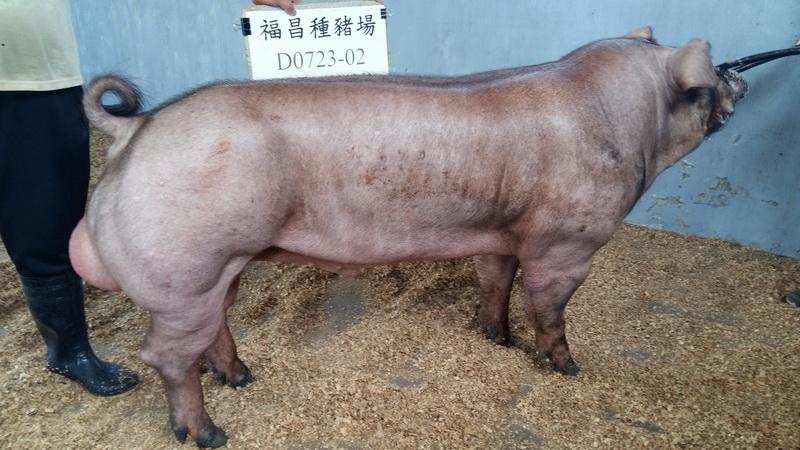 台灣區種豬產業協會10508期D0723-02側面相片