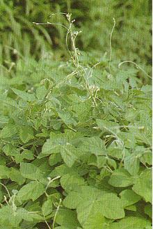 賽芻豆Macroptilium atropurpureum DC.